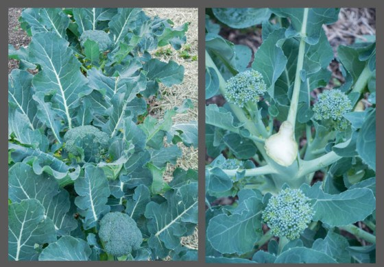 Broccoli produces a main head and then continues with an encore of side shoots