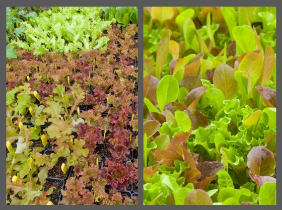 Lettuce can go in as transplants or seed can be broadcast and harvested as baby leaves