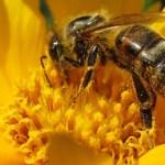 Prohibirán los neonicotinoides por las abejas en Francia