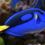Dory puede poner en riesgo al pez cirujano azul