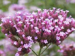 Beneficios-de-la-verbena