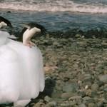 Los químicos están dañando  la fauna Antártica