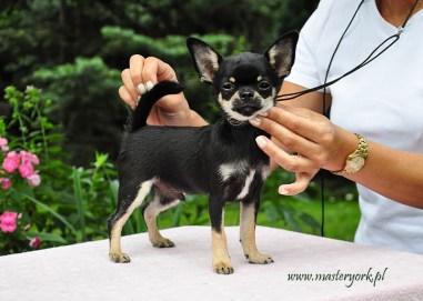 Szczenięta Chihuahua Krótkowłosy