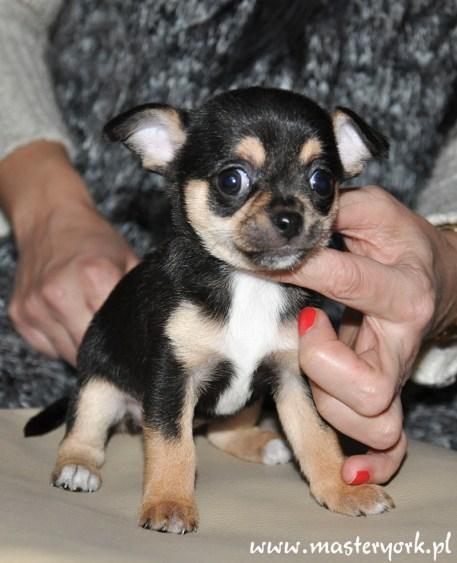 Szczenięta Chihuahua