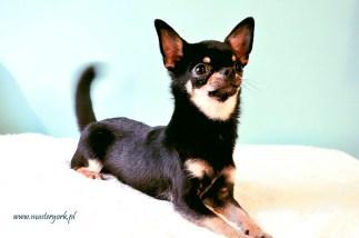 Szczenięta Chihuahua na sprzedaż