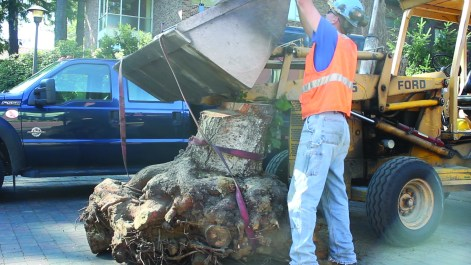 A stump outside of Ordal being prepared for chipping.