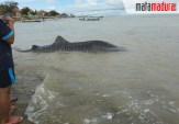 Hiu Tutul Mati Terdampar di Pantai Ketapang Sampang