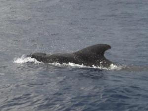 Pilot whales in Kadavu, Fiji