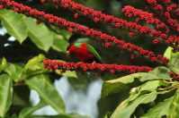 Birding treat adventure Package, Matava, Fijhas Blue head on Kadavu