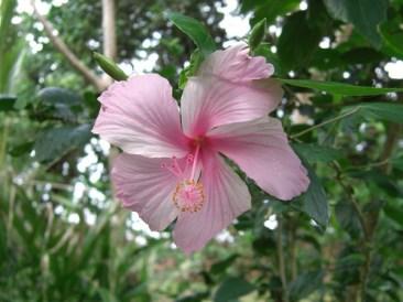 Flora White Hibiscus