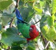 Shining Parrot, Kadavu by John McKean