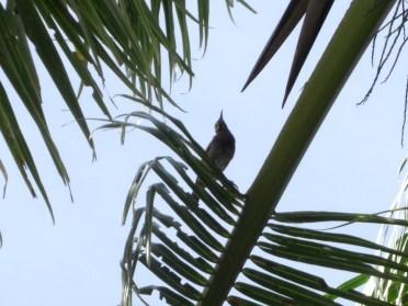 Kadavu Honeyeater - Birding treat adventure Package, Matava, Fijhas Blue head on Kadavu