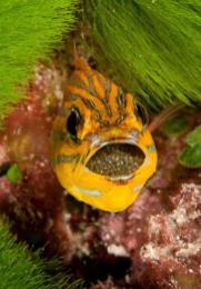 Mouth brooding cardinal fish, Kadavu, Fiji by Marty Snyderman