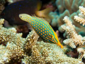 Matava Longnose Filefish