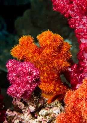 Matava Soft Corals 2