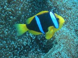 Anemonie Fish