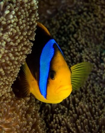 matava-anenomie-fish-1