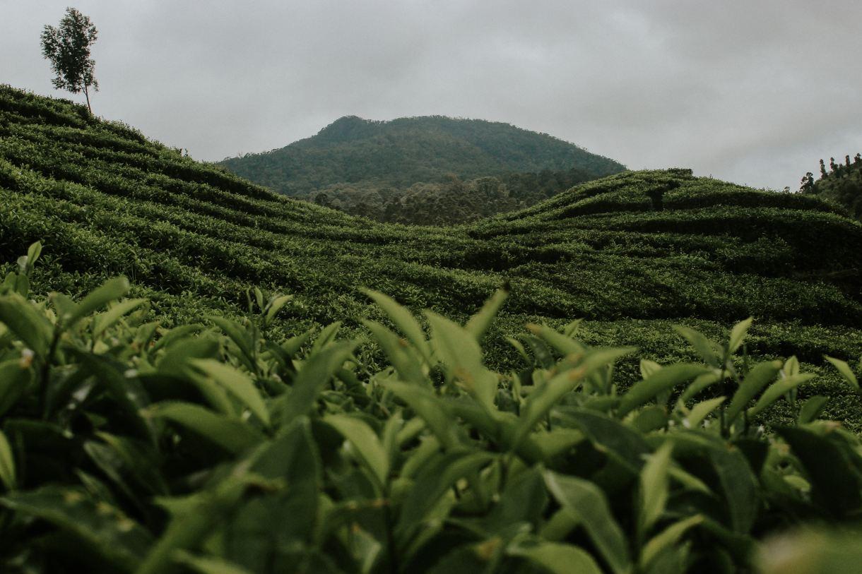 ¿Qué diferencia al té verde del té matcha? 2