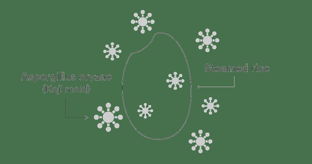 Aspergillus oryzae koji mold