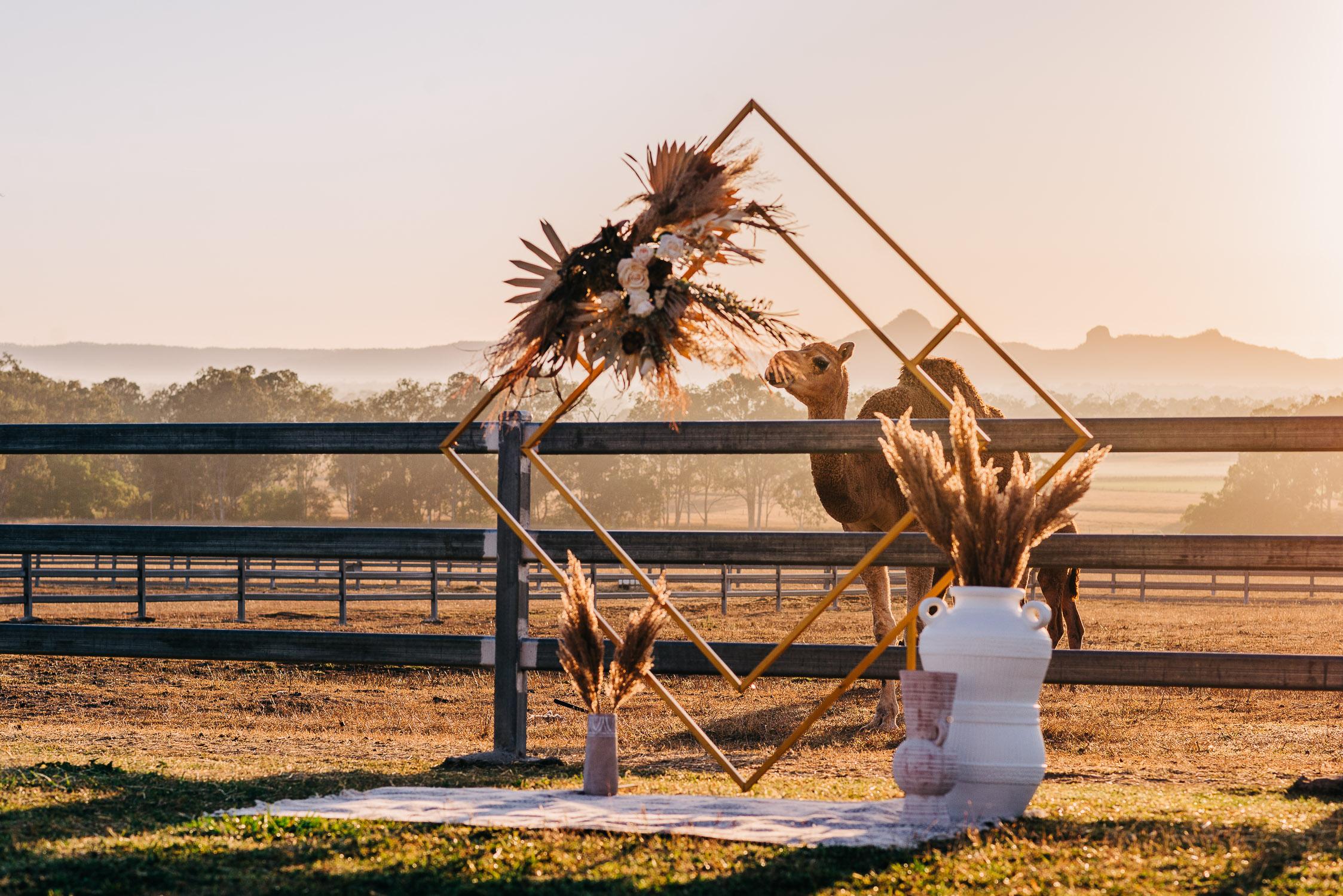 scenic rim wedding with camel
