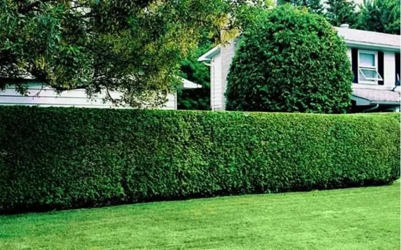 Front garden hedge plants 2