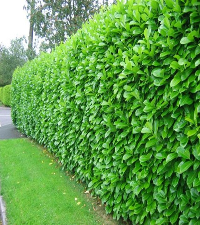 Front garden hedge plants 5
