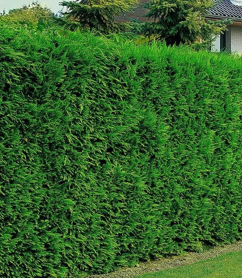 Front garden hedge plants 6