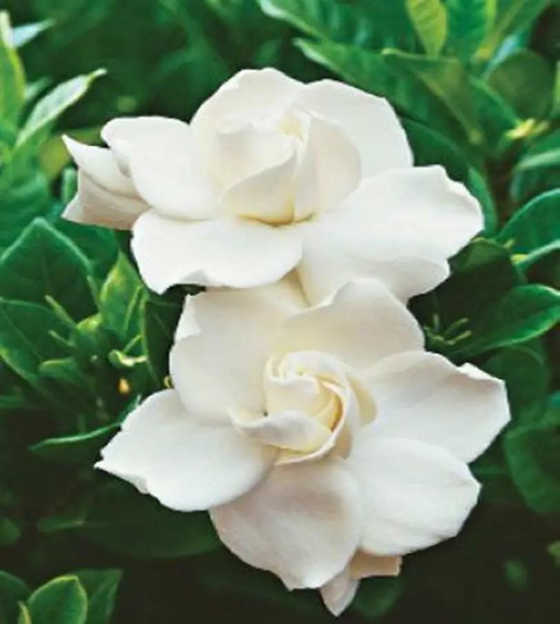 Fragrant flower 1