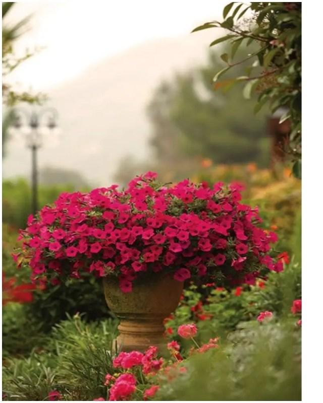 Petunia garden 5