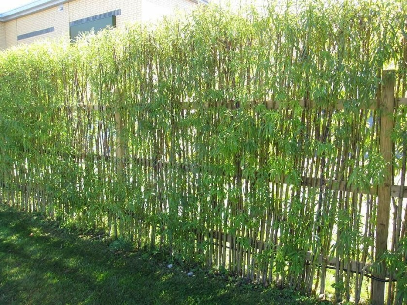 Bamboo living fence
