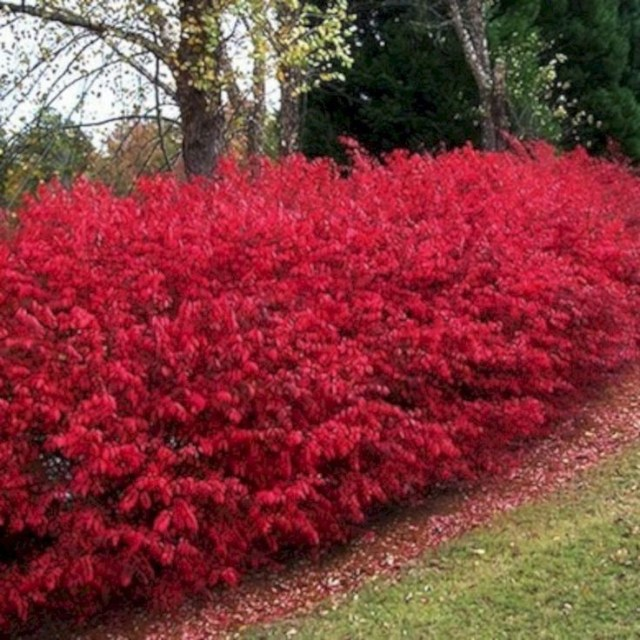 Burning bush living fence