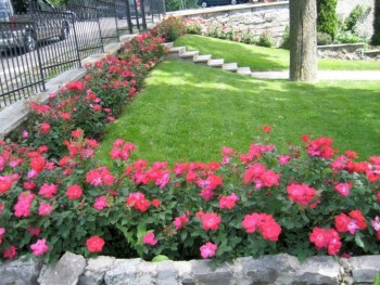 Amazing rose garden ideas in this year 25