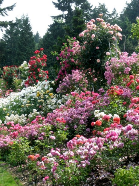 Amazing rose garden ideas in this year 27
