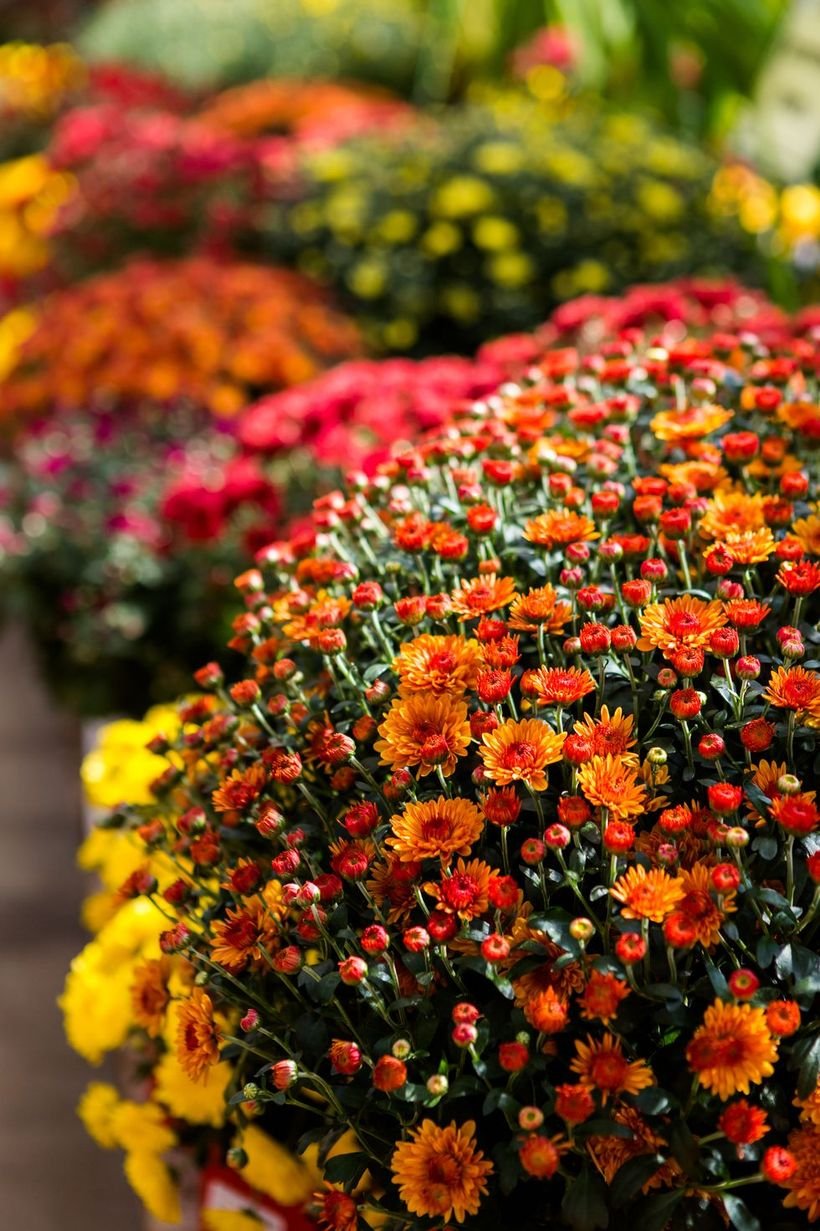 Chrysanthemums-flowers-and-plants.-