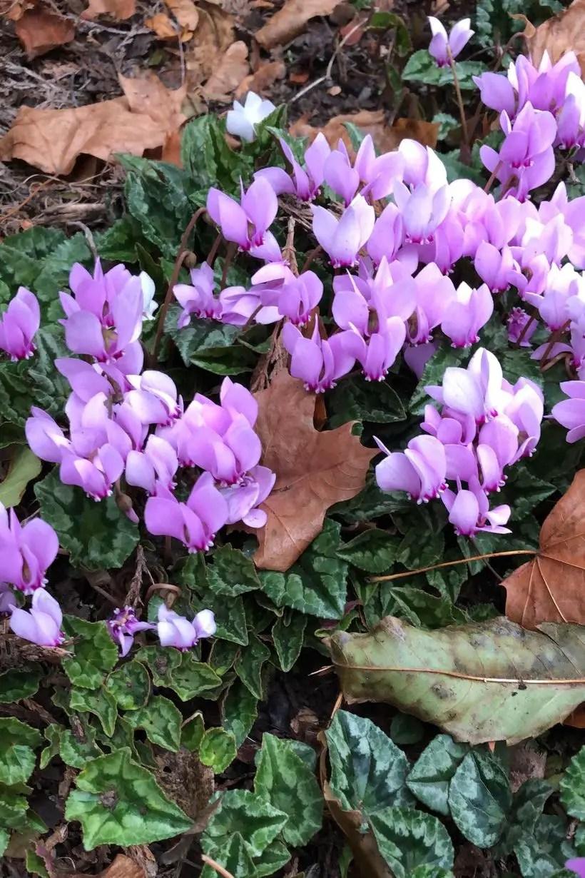 Cyclamen-hederifolium-plants-and-flowers.-