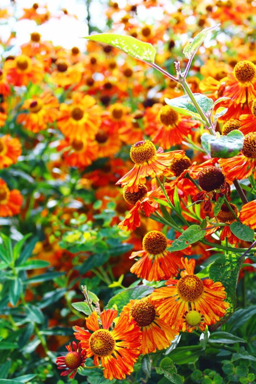 Helenium-plants-and-flowers.-