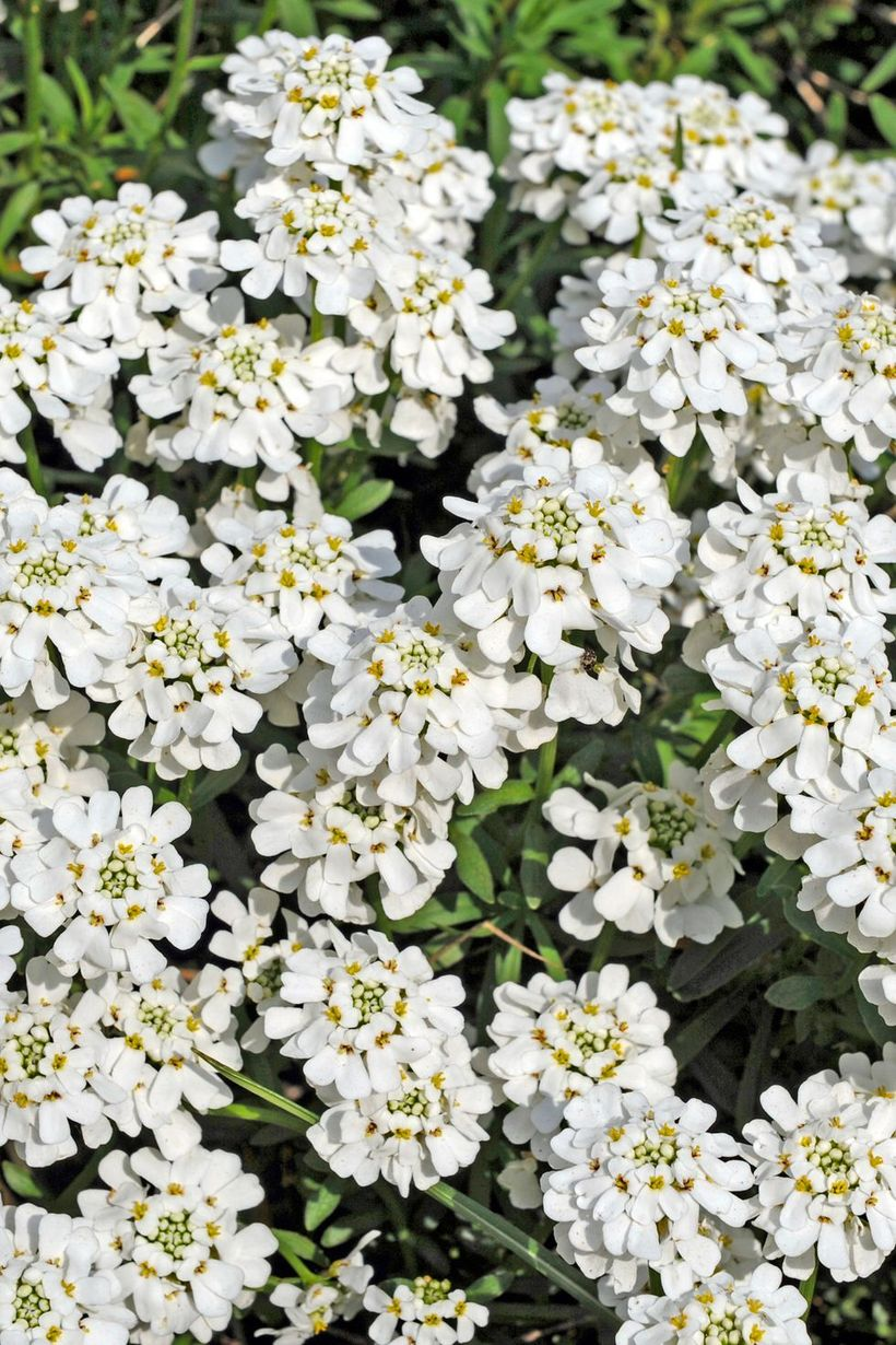 Iberis-plants-and-flowers.-