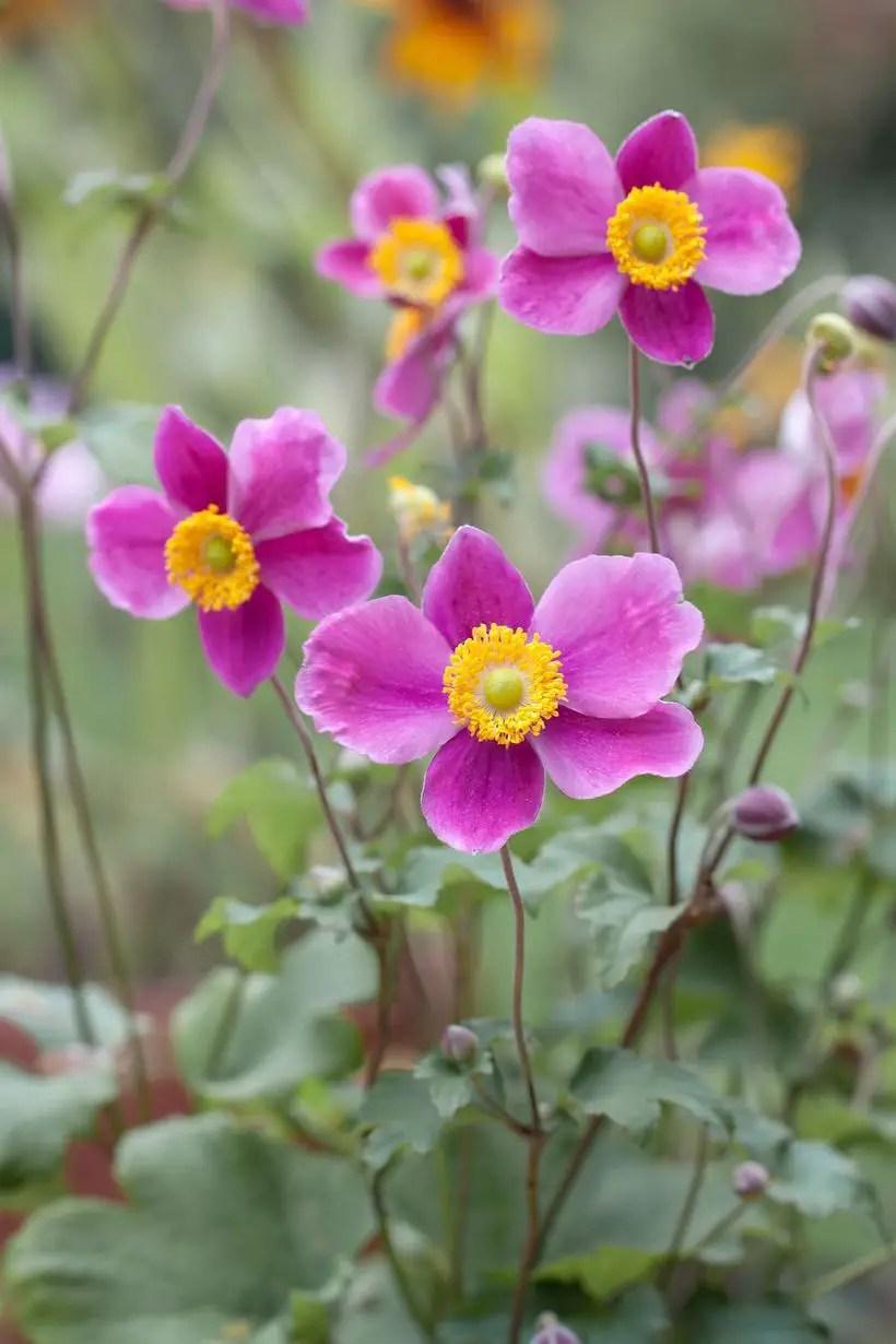 Japanese-anemones-flowers.-