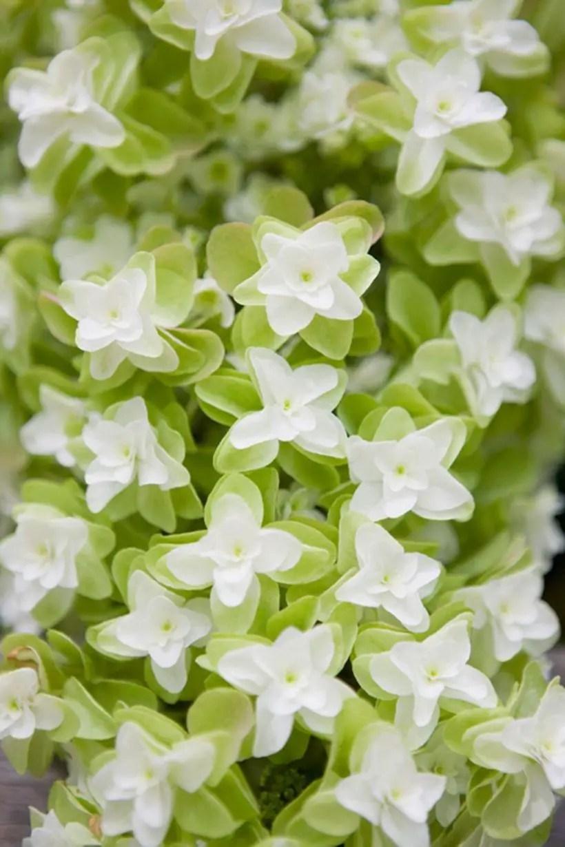 Oak-leaf-hydrangea-plants-and-flowers.-