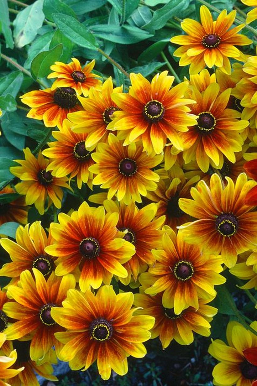 Rudbeckia-flowers-and-plants.-