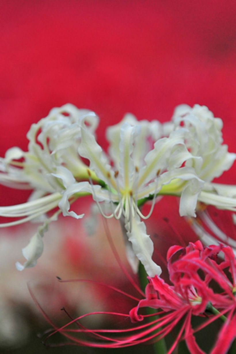 Spider-lily-plants-and-flowers.-