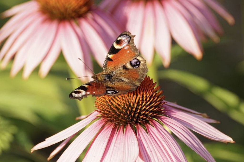 Coneflower flowers have a beautiful flower shape, these flowers can also attract the attention of butterflies to come to your garden