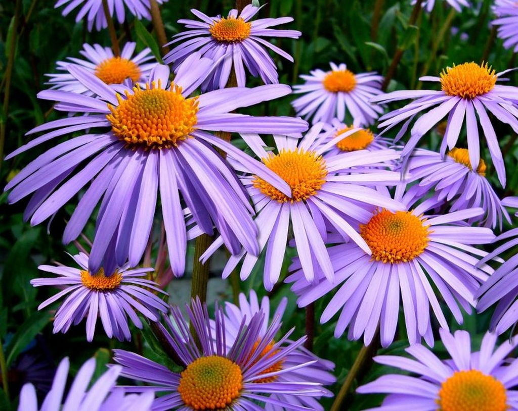 The flower that has a combination of light blue and yellow on its petals is perfect for your garden, this flower has the name aster which is also quite popular