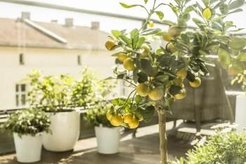 Lemon tree garden