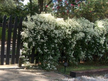 Clematis-is-a-popular-vine-selection