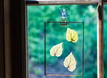 1-begonia-leaves-window