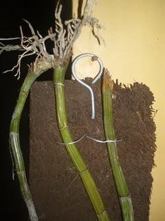 Gambar Serat Batang Anggrek : gambar, serat, batang, anggrek, Khusus, Anggrek, HIJAU