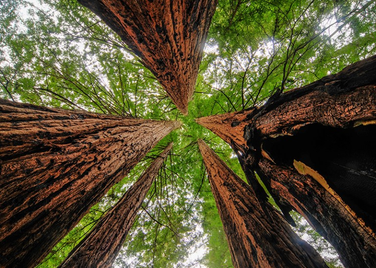 redwood canopy
