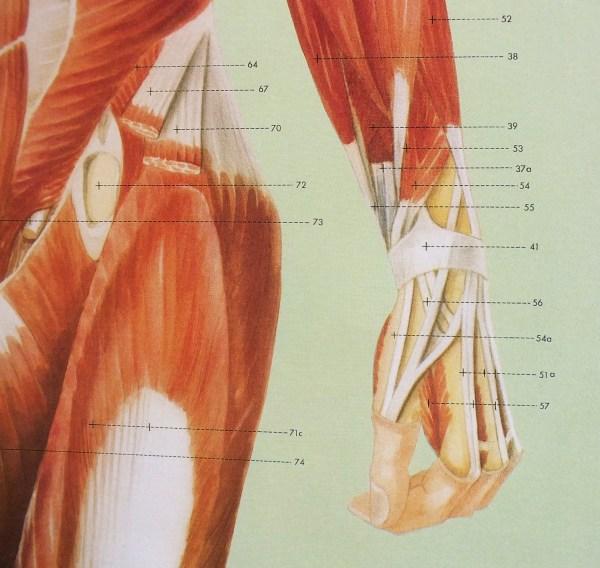 Sistemul muscular - fata 5