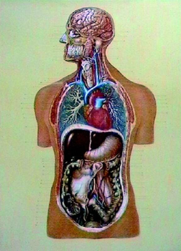 Organele interne 3